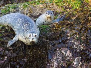 Harbor Seal on Bandon Beach, Oregon, USA by Joe Restuccia III