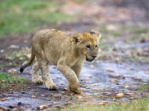 Lion Cub Walking in the Bush, Maasai Mara, Kenya by Joe Restuccia III