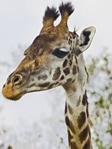 Maasai Giraffe Feeding, Maasai Mara, Kenya by Joe Restuccia III