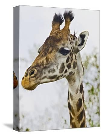 Maasai Giraffe Feeding, Maasai Mara, Kenya