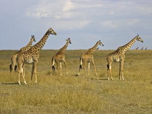 Maasai Giraffes Roaming Across the Maasai Mara, Kenya by Joe Restuccia III