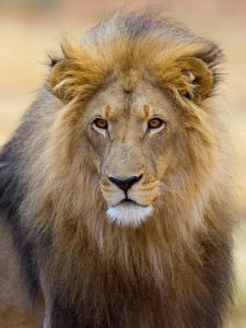Male Lion at Africat Project, Namibia by Joe Restuccia III