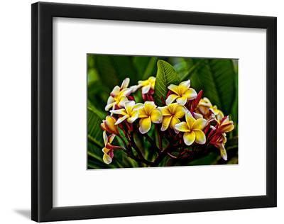 Plumeria Plant in Placencia, Belize.