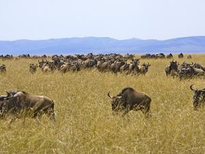 Wildebeest in the Maasai Mara, Kenya by Joe Restuccia III