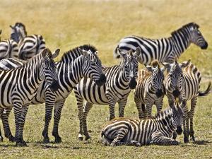 Zebras Herding in The Fields, Maasai Mara, Kenya by Joe Restuccia III
