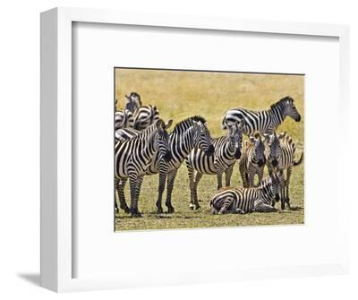Zebras Herding in The Fields, Maasai Mara, Kenya