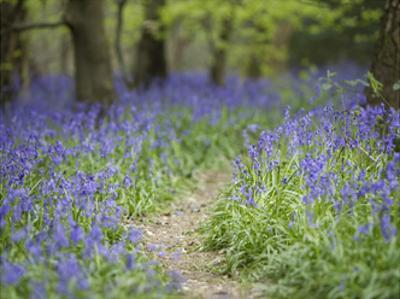 Bluebell Walk I by Joe Reynolds