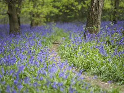 Bluebell Walk II by Joe Reynolds