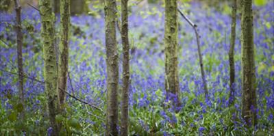 Bluebell Walk IV by Joe Reynolds