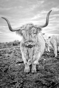 Highland Cows V by Joe Reynolds