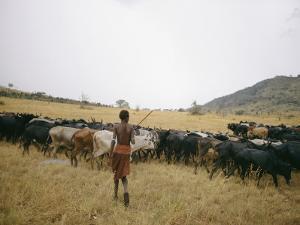 A Boy Tends to His Herd of Cattle by Joe Scherschel