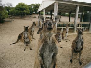 A Group of Kangaroos Look Confused by Joe Scherschel