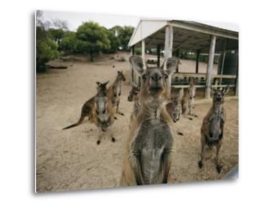 A Group of Kangaroos Look Confused