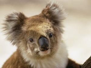 A Portrait of a Koala by Joe Scherschel