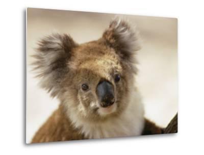 A Portrait of a Koala