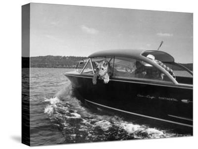 Blondie, the Pet Lion, Fascinated by the Water as She Takes Her First Ride in Chris Craft Motorboat