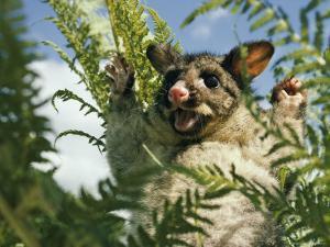 Brush Opossum with its Arms Upraised by Joe Scherschel