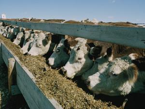 Cattle Lined-Up at a Trough to Eat by Joe Scherschel