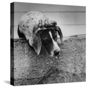"""Pointer Belonging to Animal Psychologist and Trainer Keller Breland Entitled """"My Aching Head."""" by Joe Scherschel"""