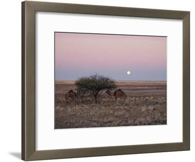 The Moon Rises over Two Camels Tied to a Low Tree