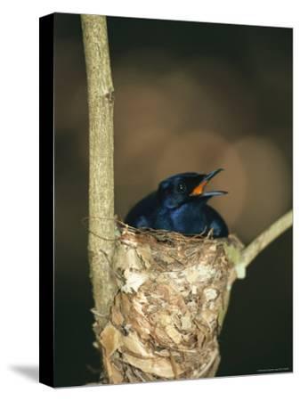 A Male Victorias Riflebird in Nest, Cape York Peninsula, Queensland