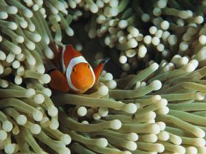 Clown Anemonefish in Sea Anemone, Pacific Ocean by Joe Stancampiano