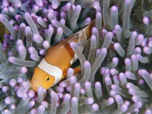 Clown Anemonefish in Sea Anemone, Sipadan Island, East Malaysia by Joe Stancampiano