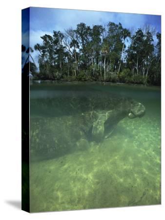 Florida Manatee, Crystal River, Florida