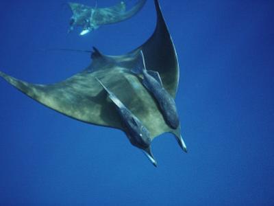 Manta Ray with Remoras, Cocos Islands, Indian Ocean