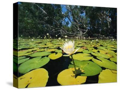 Water Lilies, Jardine River, Cape York Peninsula, Australia
