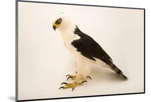 A black and white hawk eagle, Spizaetus melanoleucus by Joel Sartore
