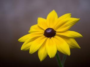 A Black Eyed Susan, Rudbeckia Hirta, Blooms in a Home Garden by Joel Sartore