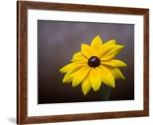 A Black Eyed Susan, Rudbeckia Hirta, Blooms in a Home Garden by Joel Sartore