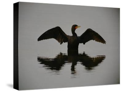 A Black-Faced Cormorant Rising out of the Water