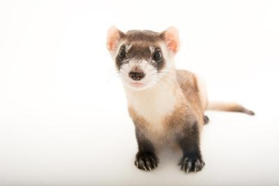 A black footed ferret, Mustela nigripes, at the Toronto Zoo. by Joel Sartore