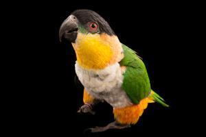 A Black Headed Parrot, Pionites Melanocephala, at the Sedgwick County Zoo by Joel Sartore