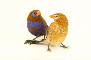 A blue bellied cordonbleu or purple grenadier from a private collection by Joel Sartore