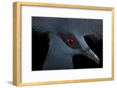 A Blue Crowned Pigeon, Goura Cristata, at Omaha's Henry Doorly Zoo and Aquarium