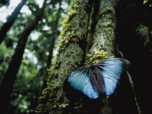 A Blue Morpho Butterfly on the Above-Ground Root of a Palm Tree by Joel Sartore