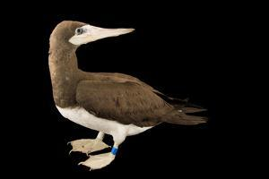 A Brown Booby, Sula Leucogaster, at International Bird Rescue. by Joel Sartore