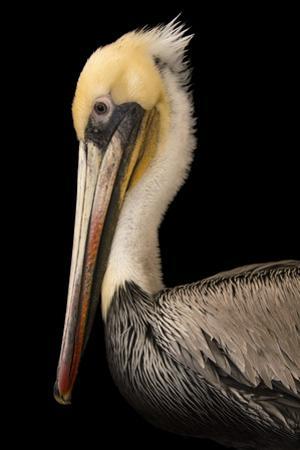 A Brown Pelican, Pelecanus Occidentalis, at the Santa Barbara Wildlife Care Network.