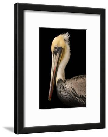 A Brown Pelican, Pelecanus Occidentalis, at the Santa Barbara Wildlife Care Network.