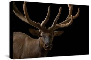 A Bull Elk, Cervus Canadensis, with His Antlers in Velvet at the Oklahoma City Zoo by Joel Sartore