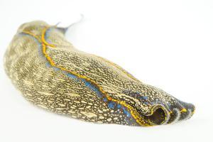 A California Aglaja Nudibranch, Navanax Inermis. by Joel Sartore