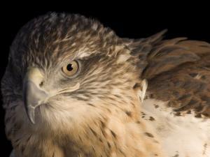 A Captive Ferruginous Hawk (Buteo Regalis) by Joel Sartore