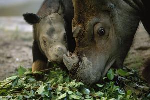 A Captive Sumatran Rhinoceros and Her Calf Feeding On Tree Branches by Joel Sartore