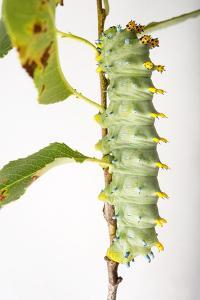 A Cecropia Moth Caterpillar, Hyalophora Cecropia, at the Minnesota Zoo by Joel Sartore