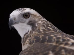 A Close-up of a Krider's Red-Tailed Hawk by Joel Sartore