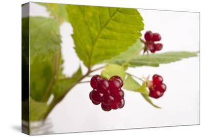 A Close Up of Common Dewberries, Rubus Flagellaris