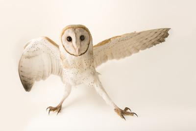 A common barn owl, Tyto alba javanica, at Penang Bird Park.